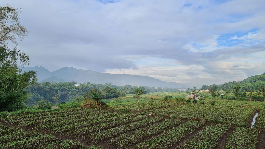 Kebun sawi di sepanjang Jalan Irigasi.